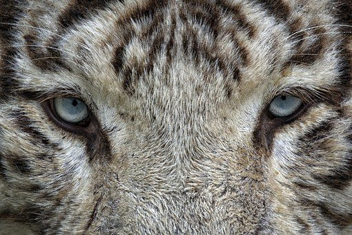 Eyes, White Tiger, Tiger, Animal, Wild Cat, Zoo, Feline