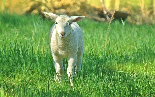 Lamb, Sheep, Animal, Schäfchen, Cute, Animal World