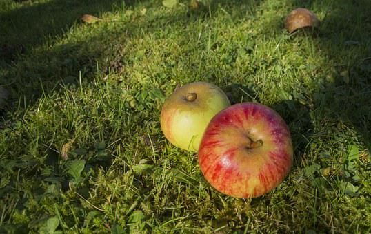 Windfall, Apple, Ripe, Over Ripe, Fruit, Red, Autumn