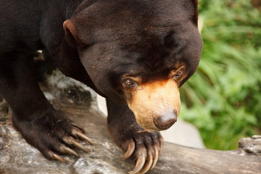 Animal, Asia, Asian, Sun, Bear, Black, Cute, Endangered