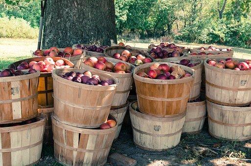 Farm, Apples, Orchard, Basket, Bushel, Agriculture