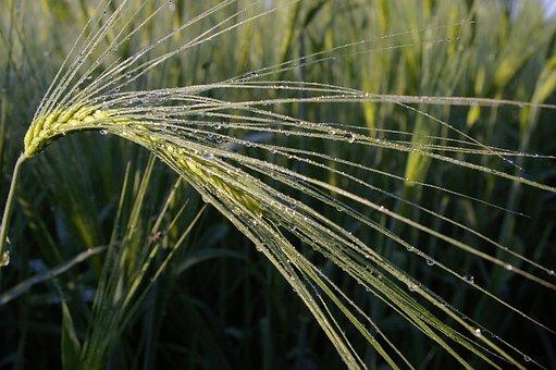 Dewdrop, Morgentau, Dew, Wheat, Wheat Field, Moist