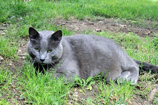 Cat, Pet, Domestic, Male, Large, Fat, Gray, Rescue