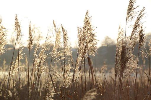 Grass, Ears, Spica, Meadow, Plant, Season, Nature