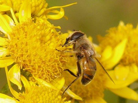Mist Bee, Mud Bee, Eristalis Tenax, Hoverfly, Bee