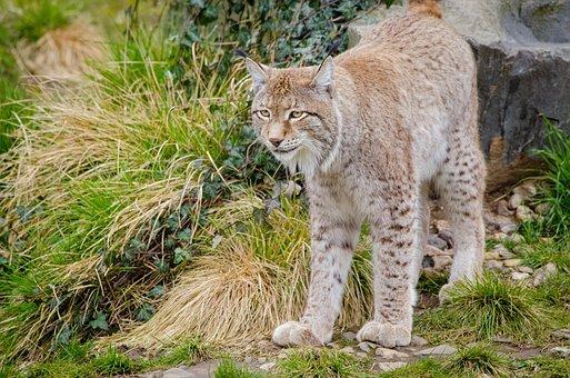 Lynx, Feline, Mammal, Subfamily Of Felines