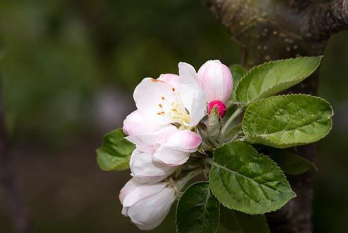 Apple Tree Blossom, Flowers, White, Nature, Garden