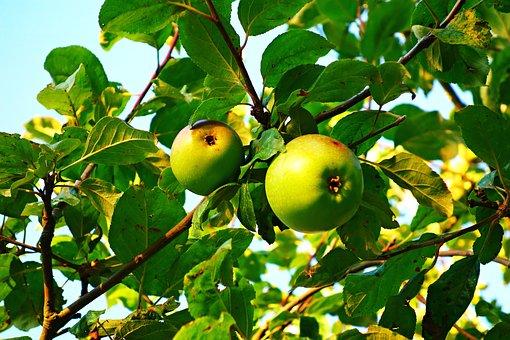 Apple, Fruit, Food, Fresh, Nutrition, Apple Tree