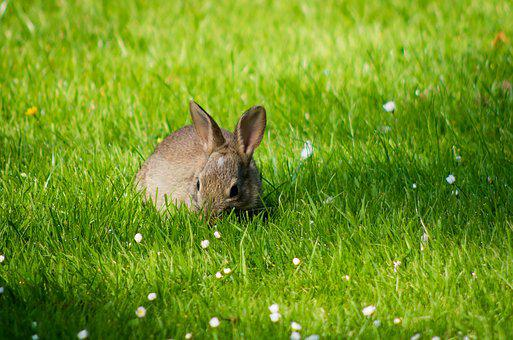 Rabbit, Grass, Meadow, Nature, Fur, Animal, Cute
