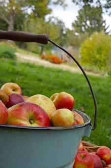 Apple, Apples Are Harvested By, Bucket, Garden