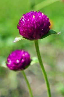 Amaranth, Gomphrena Globosa, Blossom, Bloom, Violet