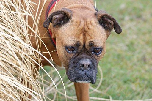 Dog, Boxer, Autumn, Pet, View, Snout, Head, Grass, Fold