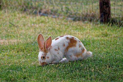 Hare, Meadow, Rabbit, Grass, Mammal, Animal, Nature