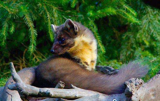 Nature, Animals, Omnivore, Iltis, Marten, Pine Marten