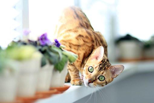 Cat, Bengali, On The Windowsill, Pet, Bengal
