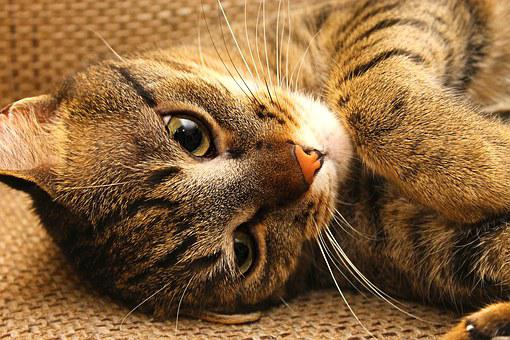 Cat, Kitten, Peaceful, Relax, Rest, Tabby, Domestic Cat