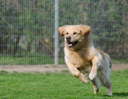 Running Dog, Retriever, Long Coat, Dog, Expression