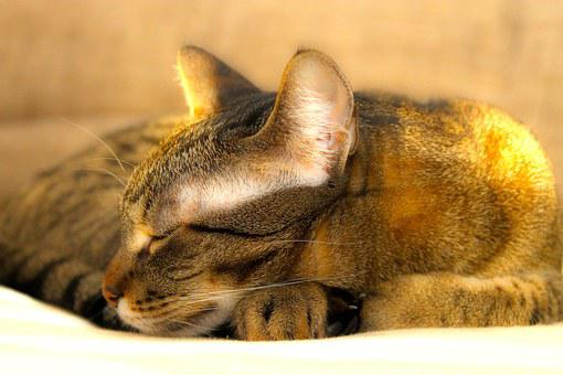 Cat, Kitten, Peaceful, Sleep, Relax, Rest, Tabby