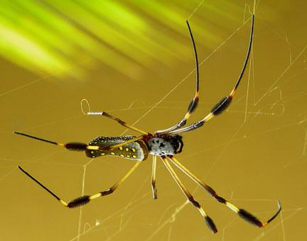Spider, Golden, Spider Silk, Nephila, Clavipes