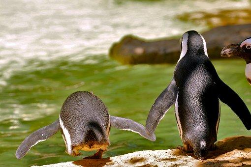 Birds, Nature, Penguin, Living Nature, Spring, Pond