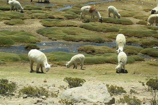 Lama, Vicuna, Animals, Andes, South America, Peru