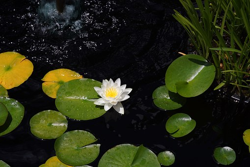 Lotus, Lily Pad, Pond, Water Lily, White Flower