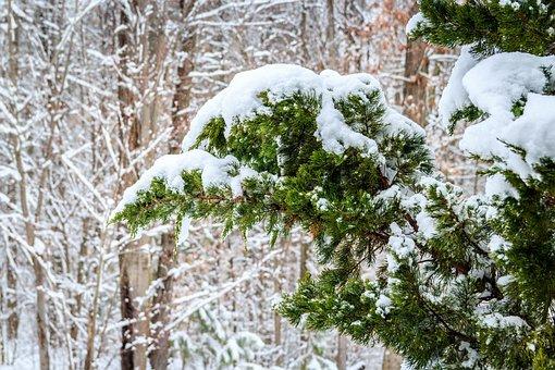 Winter, Red Cedar, Snowing, Juniper Tree
