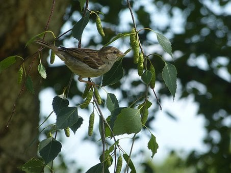 Bird, Sparrow, House Sperrling, Animal, Nature