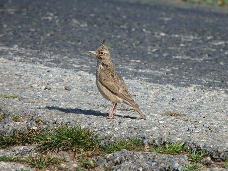 Animal, Bird, Wild, Lark, Crested, Sing