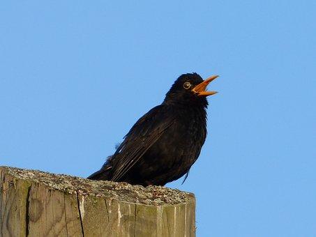 Animal, Bird, Blackbird, Songbird, Sing, Black, Bill