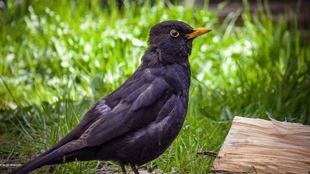 Blackbird, Bird, Birds, Black, Songbird, Nature, Fly