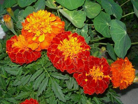 Marigolds, Orange Red Flowers, Nasturtium Leaves, Buds