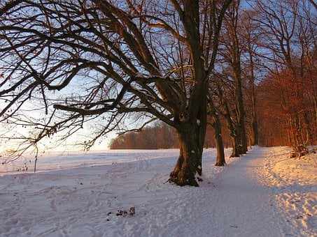 Tree, Avenue, Snow, Snowy, Afterglow, Winter, Cold