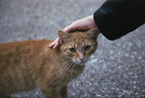 Cat, Petting, Ginger, Pet, Animal, Cute, Domestic