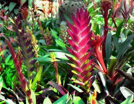 Ecuador, Red Ginger, Tropical Flower, Exotic, Botany