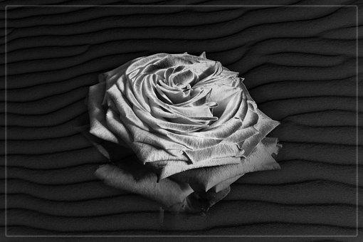 Rosen Portrait, Rose, Texture, Sand, Edited