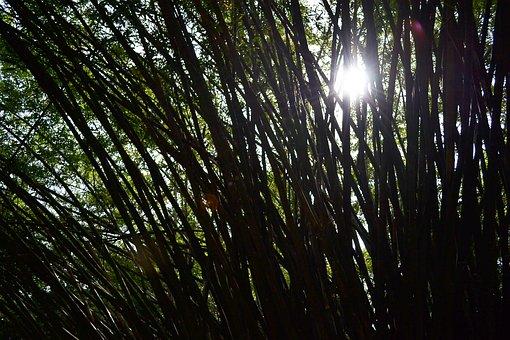 Sun Light, Bamboo, Bamboo Trees, Trees, Nature, Garden
