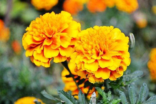 Orange Flower, Flowers, Garden Flowers, Small Flowers