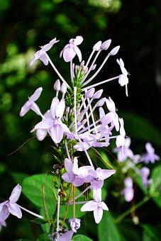 Spider Flower, Purple Flower, Flowers, Garden Flowers