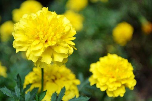Yellow Flower, Flowers, Garden Flowers, Small Flowers