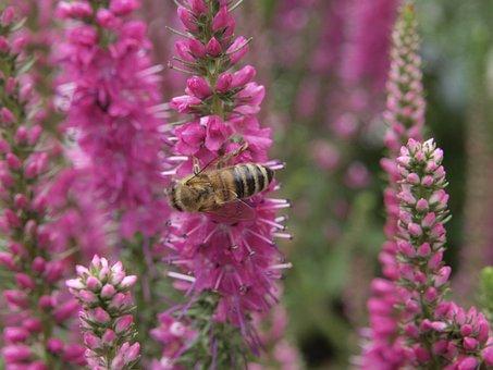 Lupine, Bee, Nature, Honey, Honey Bee, Macro, Garden