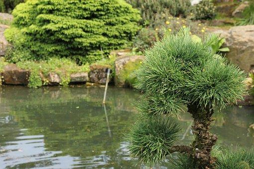 Larix Kaempferi, Larch, Pine Greenhouse, Larix, Tree