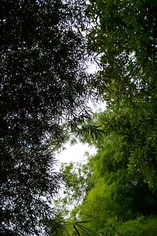 Bamboo, Leaves, Bamboo Plants, Grass, Bamboo Shoot