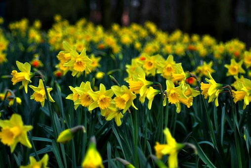 Daffodil, Jonquil, Daff, Lent Lily, Yellow, Spring