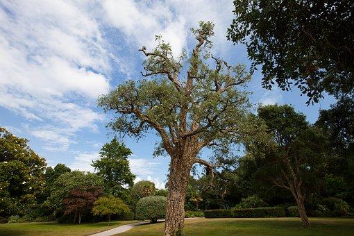 Cork Oak, Quercus Suber, Evergreen Broadleaf, Park