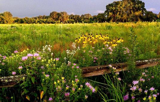 Prairie Wildflowers, Beebalm, Rattlesnake-master