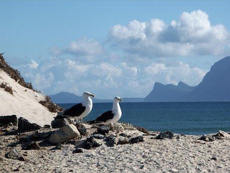Gulls, Seagull, Dominican Seagulls, Sea Birds