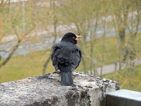 Blackbird, Songbird, Bird, Bill, Plumage, Feather