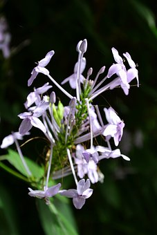 Spider Flower, Flower, Flowers, Garden Flowers