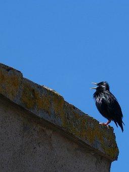 Starling, Bird Singing, Black Bird, Estornell, Roof